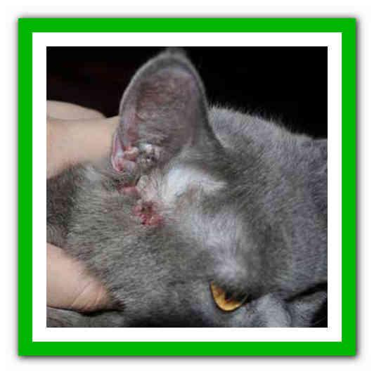 Болезни британская ушей кошка месяц общий расшифровка анализ детей 1 крови у
