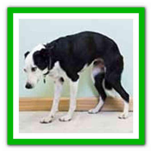 Как лечить простатита у собак пиявки лечение простатит